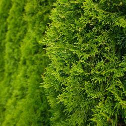 Coniferen planten of verwijderen